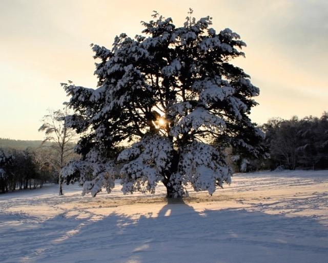 Snow tree (1)